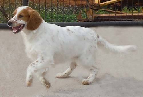 female english setter our females